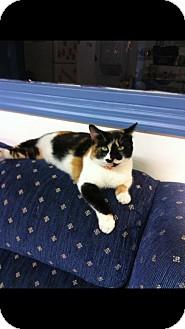Calico Cat for adoption in Aiken, South Carolina - Cali