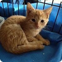 Adopt A Pet :: Miss Marmalade - Ft. Lauderdale, FL