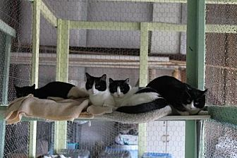 Domestic Shorthair Cat for adoption in Golden Valley, Arizona - Chianti