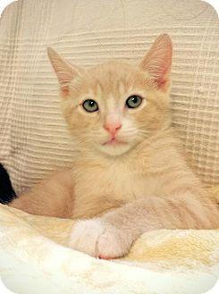 Domestic Shorthair Cat for adoption in Walnut Creek, California - Oscar