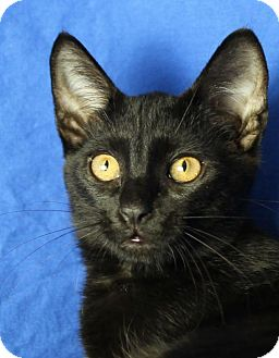 Domestic Shorthair Kitten for adoption in Winston-Salem, North Carolina - Ember