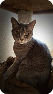 Domestic Shorthair Cat for adoption in Loveland, Colorado - Tony&Bailey