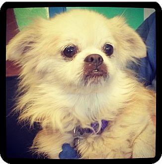 Pekingese/Pomeranian Mix Dog for adoption in Grand Bay, Alabama - Freddie