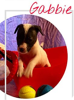 Labrador Retriever/Pit Bull Terrier Mix Puppy for adoption in Cat Spring, Texas - Gabbie