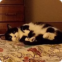 Adopt A Pet :: Kitty - Arlington/Ft Worth, TX