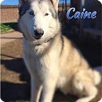 Adopt A Pet :: Caine - Carrollton, TX