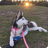 Adopt A Pet :: Uma - Clearwater, FL