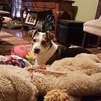 Australian Cattle Dog Mix Dog for adoption in Surprise, Arizona - Missy