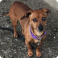 Dachshund Mix Dog for adoption in Auburn, Washington - Charlie