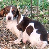 Adopt A Pet :: Corrie - Georgetown, KY