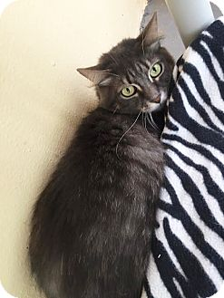 Maine Coon Cat for adoption in Boca Raton, Florida - Betty