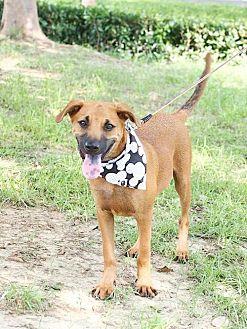 Bernese Mountain Dog Puppy for adoption in San Francisco, California - Morris