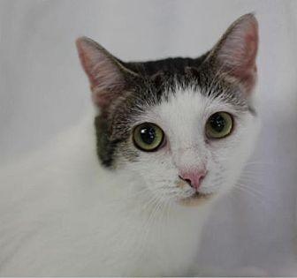 Domestic Shorthair Cat for adoption in Raleigh, North Carolina - Lady Suki