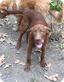 Labrador Retriever/Husky Mix Puppy for adoption in SOUTHINGTON, Connecticut - Baxter