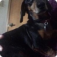 Adopt A Pet :: Sydney - Warsaw, IN