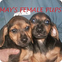 Adopt A Pet :: MAY'S FEMALE PUPS - Ventnor City, NJ