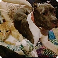 Adopt A Pet :: Blue - Pompton Lakes, NJ