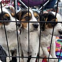 Adopt A Pet :: Dottie - Hopkinsville, KY