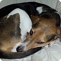 Treeing Walker Coonhound Mix Dog for adoption in Fort Worth, Texas - Casey