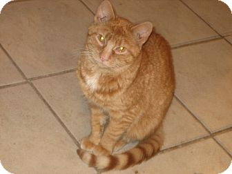 Domestic Shorthair Cat for adoption in Portland, Maine - Merrill