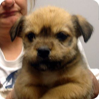 Terrier (Unknown Type, Small)/Terrier (Unknown Type, Small) Mix Puppy for adoption in Greencastle, North Carolina - Nicki