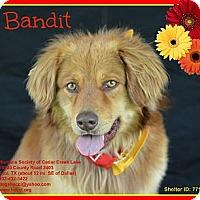 Adopt A Pet :: Bandit - Plano, TX