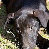 Adopt A Pet :: Oswald - Albany, NY