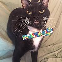 Domestic Shorthair Cat for adoption in Cerritos, California - Chandler