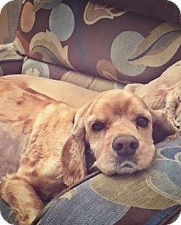 Cocker Spaniel Dog for adoption in Scottsdale, Arizona - Toby