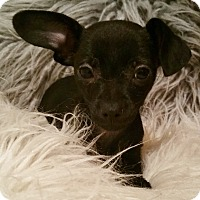 Adopt A Pet :: Rosie-Adoption pending - Bridgeton, MO
