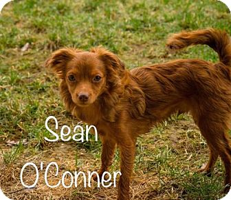 Chihuahua Mix Puppy for adoption in Nicholasville, Kentucky - Sean O'Connor