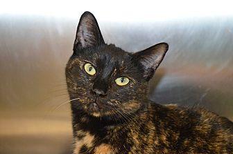 Calico Cat for adoption in Mt. Airy, North Carolina - Kamilah