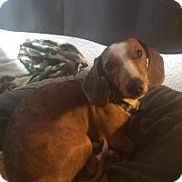 Adopt A Pet :: Hank - Aurora, CO