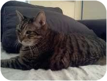 Domestic Shorthair Cat for adoption in Coral Springs, Florida - Pavarotti