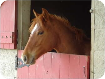 Draft/Thoroughbred Mix for adoption in Marengo, Ohio - Stanley