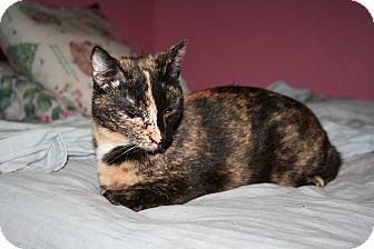 Domestic Shorthair Cat for adoption in Santa Rosa, California - Meredith