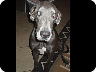 Great Dane Dog for adoption in Phoenix, Arizona - Belize