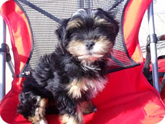 Lhasa Apso/Shih Tzu Mix Puppy for adoption in Fort Valley, Georgia - malcom