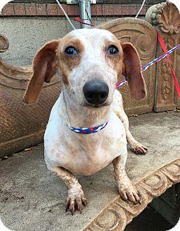 Dachshund Dog for adoption in Santa Ana, California - Marty