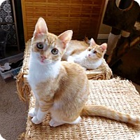 Adopt A Pet :: Ziggy (Orange and White) - Los Angeles, CA