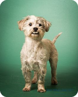 Shih Tzu Mix Dog for adoption in Bedminster, New Jersey - Barnsley  - MEET ME