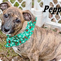 Adopt A Pet :: Pepper meet me 1/6 - Manchester, CT