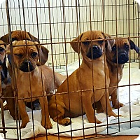 Adopt A Pet :: 7 puppies - Okeechobee, FL