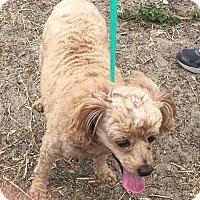 Adopt A Pet :: Sophia - Tavares, FL