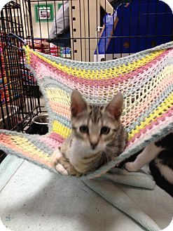 Bengal Kitten for adoption in Fort Lauderdale, Florida - Toby