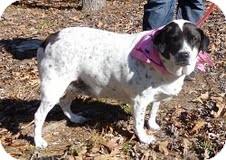 Beagle/Dalmatian Mix Dog for adoption in Allentown, Pennsylvania - Greta (wanda)