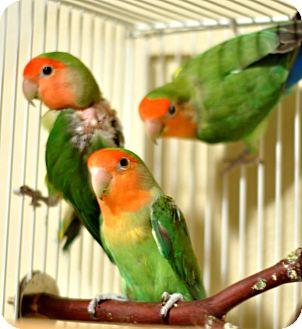 Lovebird for adoption in Lenexa, Kansas - Malachite