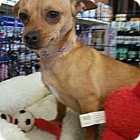 Adopt A Pet :: Paisley - Gilbert, AZ