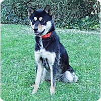 Adopt A Pet :: Loki - Southern California, CA