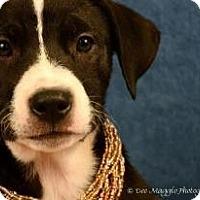 Adopt A Pet :: Athena - Lapeer, MI